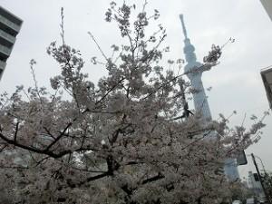 店の前の桜とスカイツリー